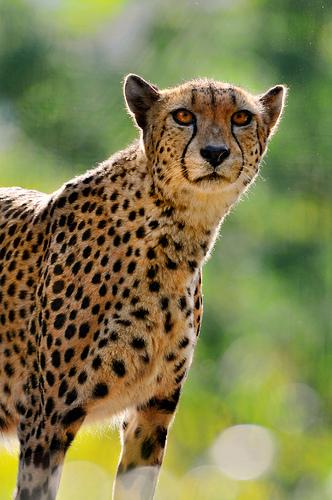 Cheetahs Program Dates